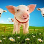 Babe The Sheep Pig UK Tour